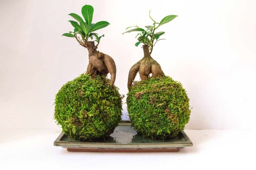 diy fabriquer un kokedama madame d core. Black Bedroom Furniture Sets. Home Design Ideas