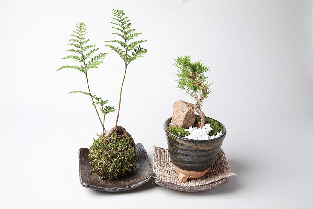 Diy fabriquer un kokedama madame d core for Plantes japonaises